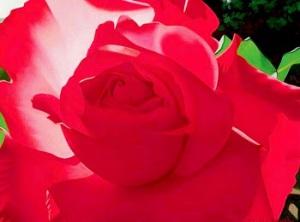 flores-rojas-tropicales-en-oleo